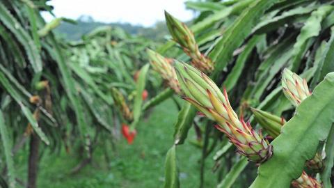 有機農場種植了百多棵火龍果樹。
