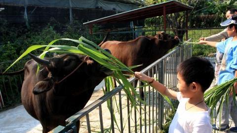 小朋友餵得不亦樂乎,牛隻亦似有無限個胃般食個不停。