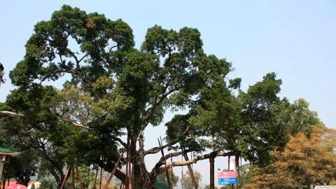 今天的許願樹已沒有昔日的氣勢,取而代之的是幾支支撐著大樹的鐵架,也許人們的願望真的過份沉重了。