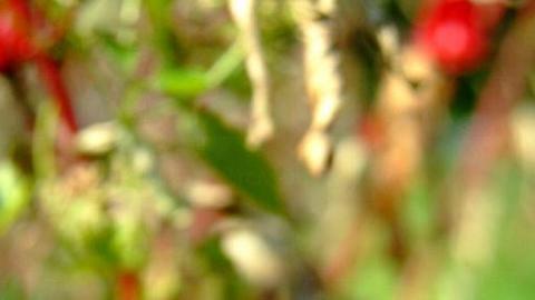 洛神葵的花萼酸度較高,有助平衡體內酸鹼值,可解渴甚至消脂。