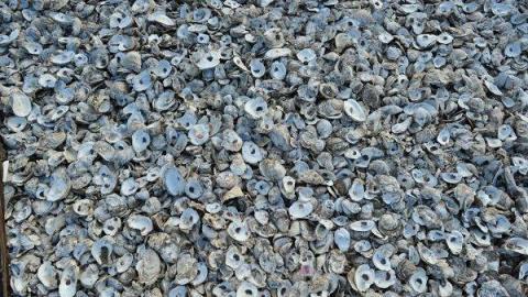 近岸的蠔灘有大量蠔殼以及招潮蟹寄居,牠們各有不同形狀。