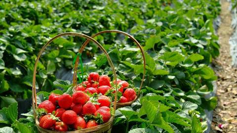 雖然今年「凍傷」影響了農作物失收,仍無損陳先生要繼續種下去的決心。