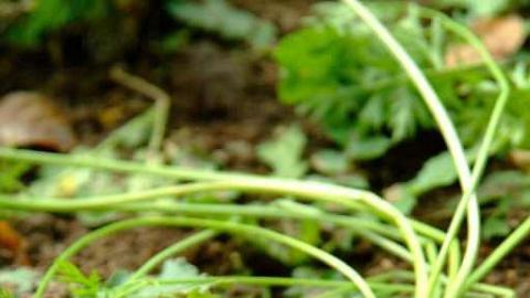 遊客亦可同場即摘即買綠油油出品的蘿蔔。