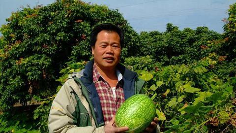 陳先生捧起如排球般大的有機魚翅瓜。