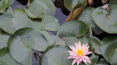 湖上蓮花盛開,非常漂亮。