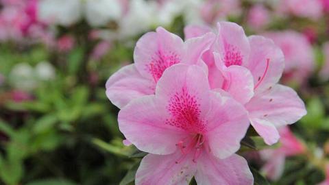 杜鵑花盛開的季節,也就是考試的時候。