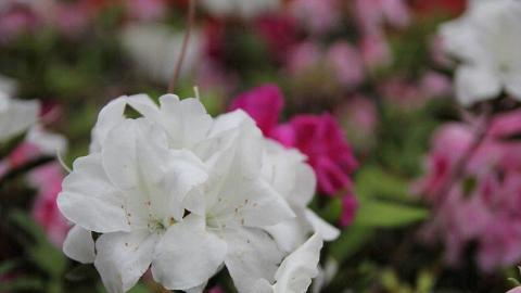 中大本部開滿不同顏色的花,花團錦簇。