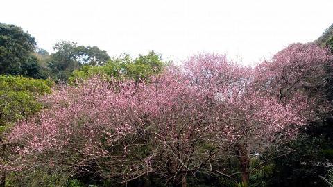 上山途中的這棵大梅花正開得燦爛