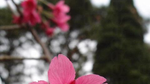 這裏櫻花品種為鐘花櫻桃
