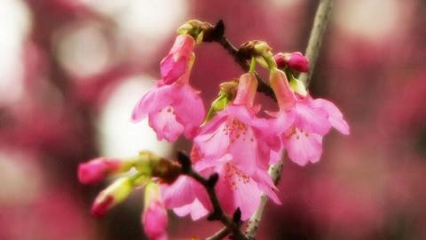 比較下,嘉道理農場的櫻花樹比這裏還要多(新之棧圖片)