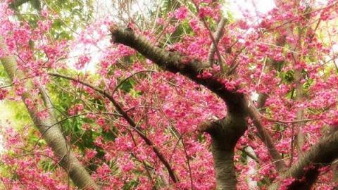 關公亭人很多,要拍櫻花樹全相實在不易。(新之棧圖片)