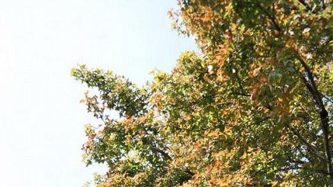 楓香樹配上中式庭園,充滿詩意。