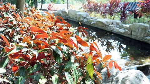 除了楓香,紅葉徑種有多款紅葉植物。