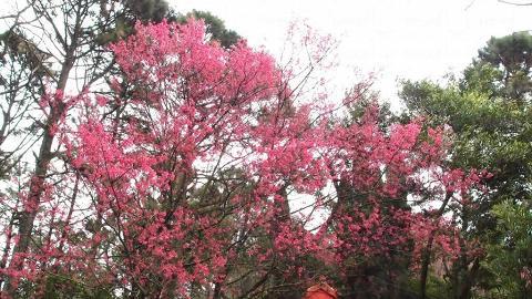 胡挺生先生紀念亭對開的櫻花林。(2013年2月攝)