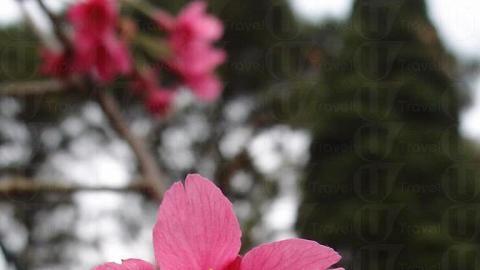 鐘花櫻桃顏色鮮艷。(2013年2月攝)