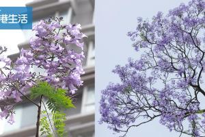 紫色浪漫!香港5大賞藍花楹地點
