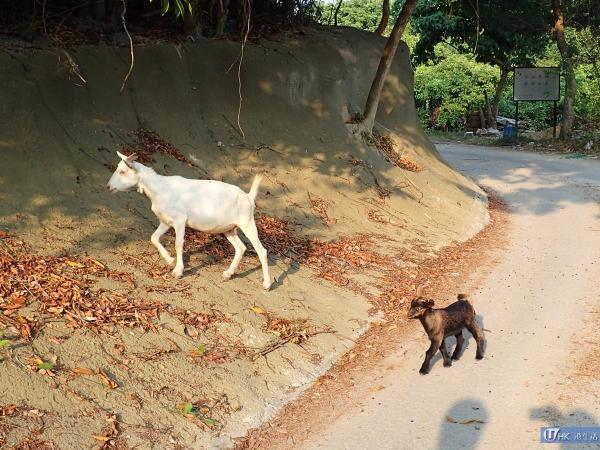 放牧中的山羊群