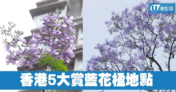 香港5大賞藍花楹地點