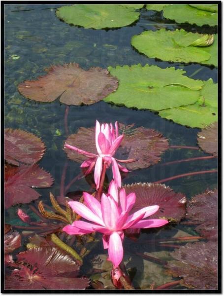 池內蓮花正開得燦爛。