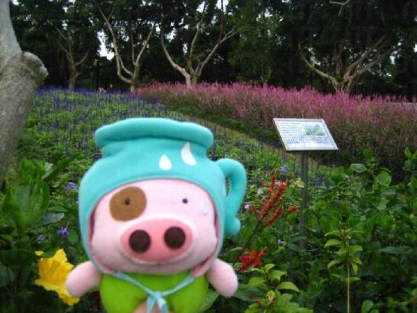 海濱公園的薰衣草田。