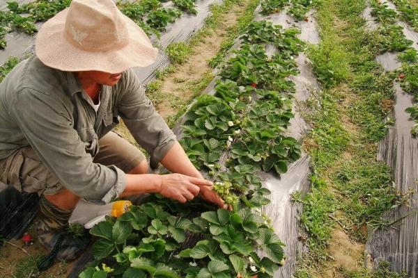 長了白花的士多啤梨最當造,味道新鮮甜美。