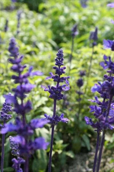園內的薰衣草適合生長於 10 - 25 度的環境。