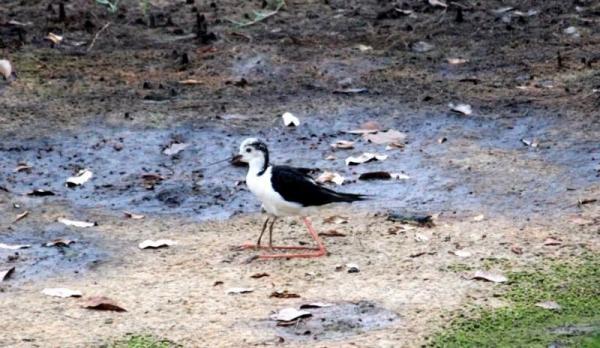 這隻就是黑翅長腳鷸,是否看起來像有四隻腳?其實前面兩隻腳屬於牠的幼鳥,躲藏於母親身前。(關璇攝)