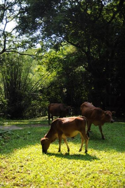 村外的草地現已成為了牛群居所。