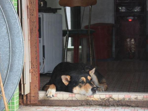 村長的狗體形龐大但很友善。