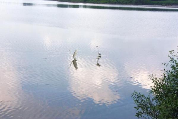 大白鷺飛近岸邊,正是「打雀」的好時機。