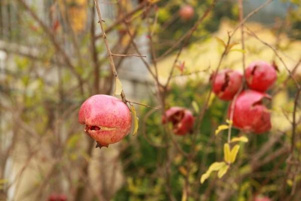 寺內種有幾株石榴樹,紅彤彤的十分誘人,不過許多都已熟透裂開了。