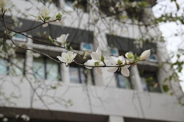 百萬大道兩旁的樹都開花了。