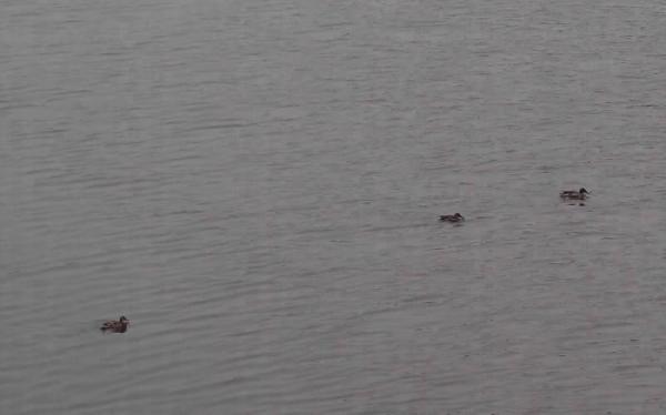 明渠相連米埔,不少鳥類在此覓食。