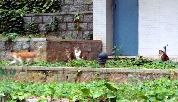 大部分貓咪怕人,走近一點牠們便逃跑。