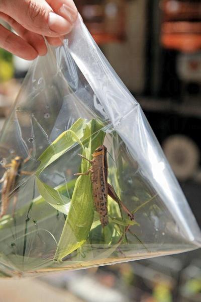 新鮮蚱蜢!小包約有 4 隻,售 $10。