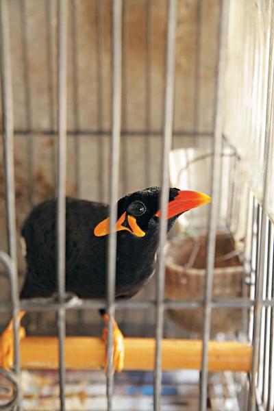 紅喙黑羽的雀鳥並不怕陌生人。