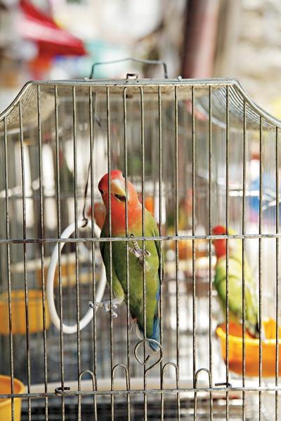 漸變色羽毛的雀鳥一向也比較受歡迎。