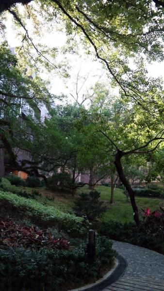 高大的楓香樹