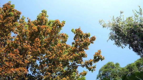 開始變色的楓香樹