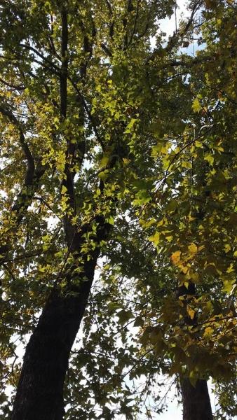 這裏楓香樹齡有老有嫩,一旦變紅,高矮層次將變得分明。