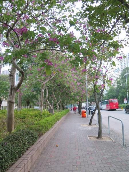 往電影資料館的路上,是洋紫荊花街。