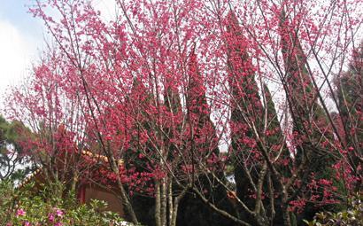 開花時同樣全樹無葉,滿株粉紅。(官網圖片)