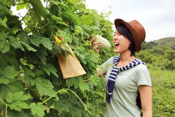 夏天種瓜好季節,農場有齊苦瓜、青瓜、絲瓜及節瓜等。